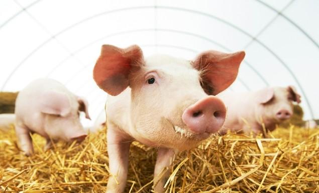 export porci vii