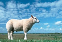 subvenții pentru ovine și caprine