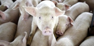 export porci
