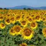 floarea-soarelui-ss