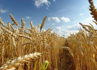 burselor futures de porumb și grâu